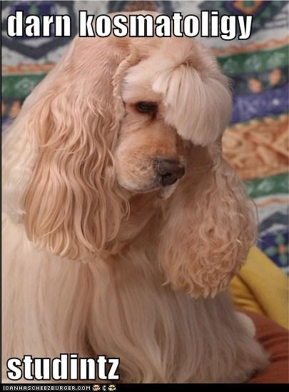 cocker spaniel dogs hair - 6186550528