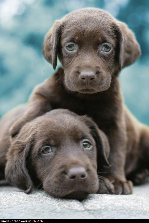 cyoot puppy ob teh day lab puppy - 6188044800