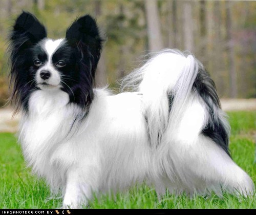 face off goggie ob teh week papillon - 6188941824