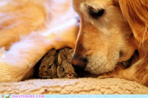 Babies bunnies bunny dogs golden retriever happy bunday Interspecies Love protect protecting squee - 6188994816