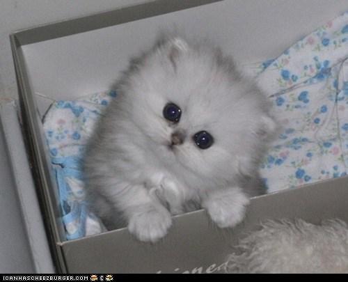big eyes blue eyes Cats cyoot kitteh of teh day eyes Fluffy kitten tiny white - 6189287168
