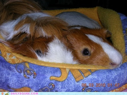 BFFs friends guinea pigs pets reader squees - 6190111744