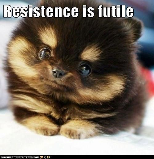 best of the week,dogs,dogs resistance is futile,futile,Hall of Fame,pomeranian,puppy,resistance,squee,too cute