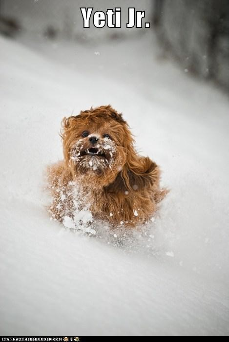 dogs,snow,what breed,yeti