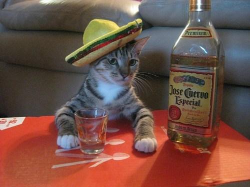 cat Cats cinco de drinko cinco de mayo cute cat Photo - 6194465280