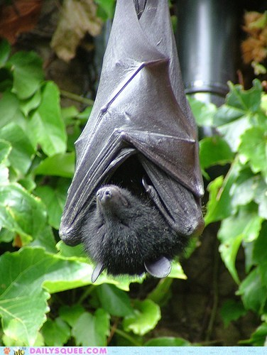 bat bats sleeping squee spree upside down wings winner