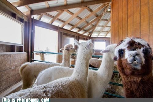 alpaca Animal Bomb animals best of week wat you crazy