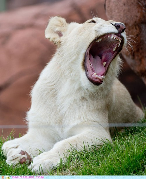 White Lion Yawn