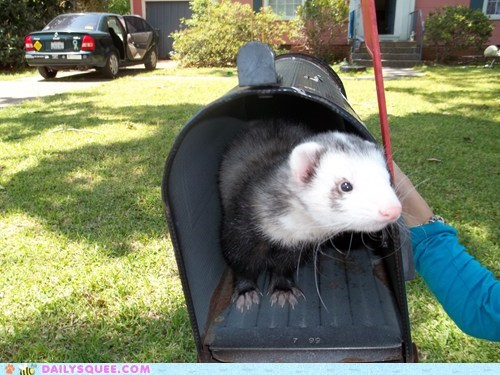 delivery,ferret,mail box,surprise