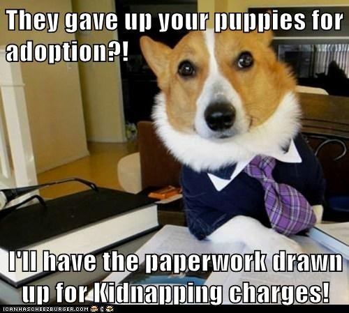 adoption,corgis,dogs,kidnapping,Lawyer Dog,Lawyers,Memes,puppies
