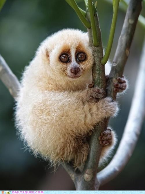 branch branches climb Fluffy loris Slow Loris squee squee spree trees