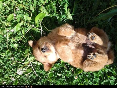 cyoot puppy ob teh day grass nap puppy - 6206536704