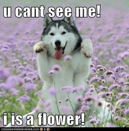 best of the week,camoufage,dogs,fields,flowers,Hall of Fame,hiding,huskie,huskies,husky,you-cant-see-me