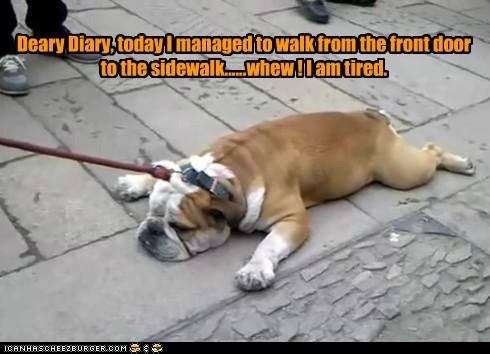 bulldog lazy - 6208736512