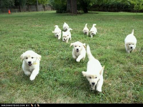 cyoot puppy ob teh day golden retriever puppy - 6209601536