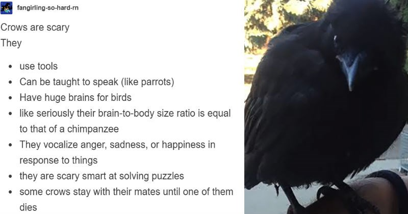 tumblr goes into how smart and clever crows are, the birds