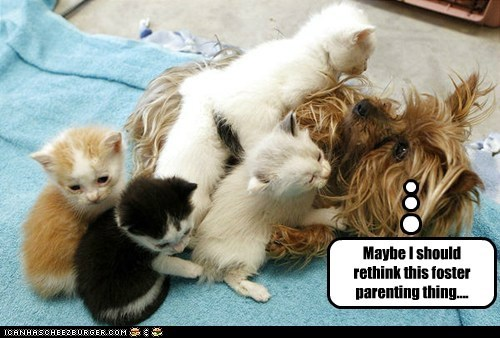 dogs foster babies kitten yorkie - 6212617984