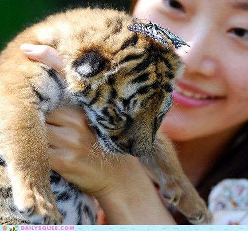 butterflies,butterfly,cub,Hall of Fame,hands,hat,holding,Interspecies Love,monarch,squee,tiger,tigers