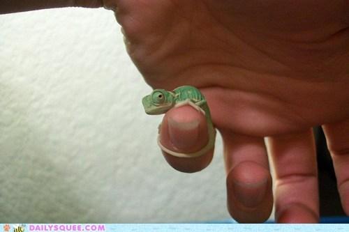 baby,chameleon,chameleons,finger,fingers,hand,hands,lizard,lizards,squee,tiny