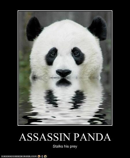 assassin panda prey sneaky stalking swimming water - 6213976576