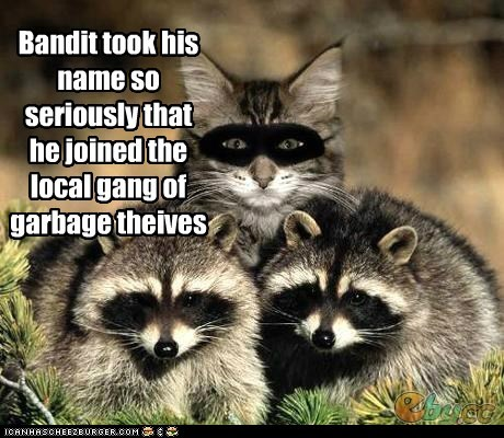 Bandit took his name so seriously that he joined the local gang of garbage theives