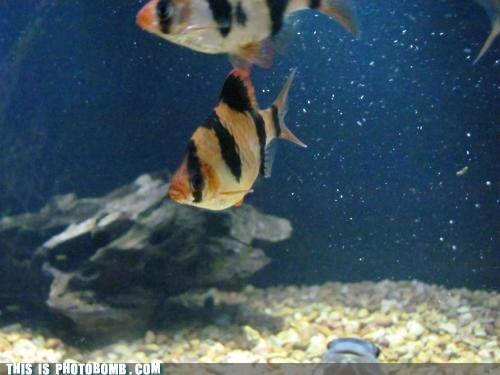 Animal Bomb fish peekaboo - 6214037760