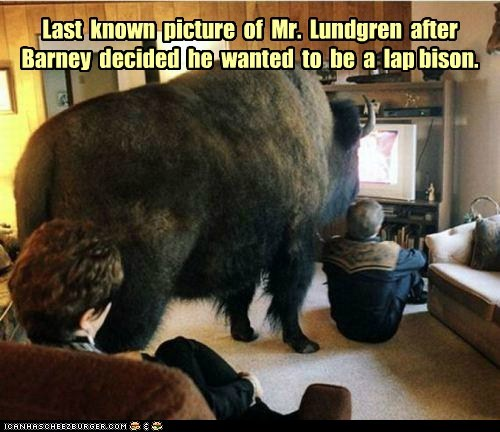 bison,buffalo,cute,lap,last known photo,loving,pet