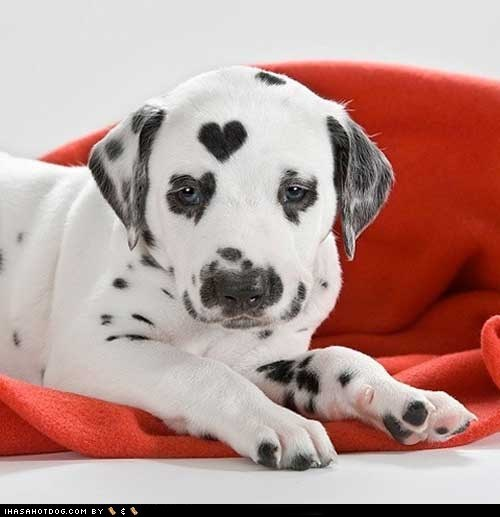 cyoot puppy ob teh day,dalmation,heart,puppy