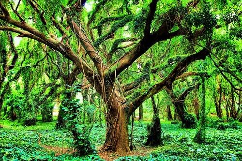 Hawaii,jungle,tree,tropic