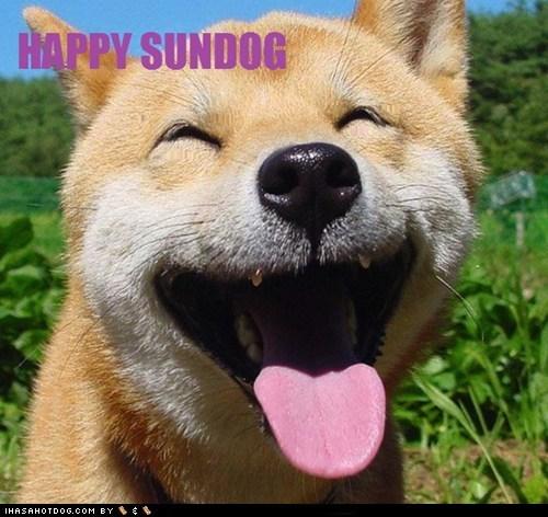 dogs shiba inu Sundog - 6218055936