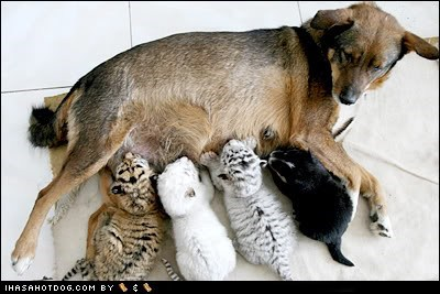 best of the week Hall of Fame kitten mothers day tiger - 6218067200