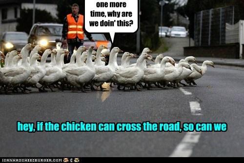 crossing the road ducks group holding up joke old joke traffic - 6220768512