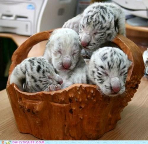 Babies basket baskets sleeping squee tiger cub tiger cubs white tiger white tigers