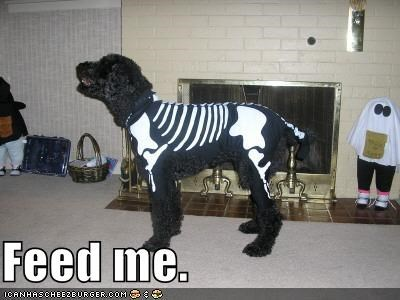 halloween,portugese water dog,skeleton