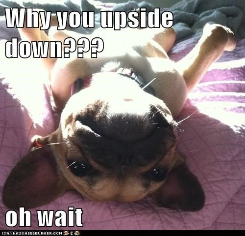confused dogs french bulldogs upside down - 6224243200