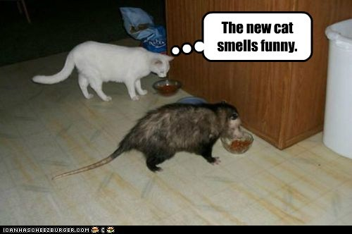 cat,Cats,confused,dinner,eat,gross,lolcats,new,opossum,possum,smell,stinky