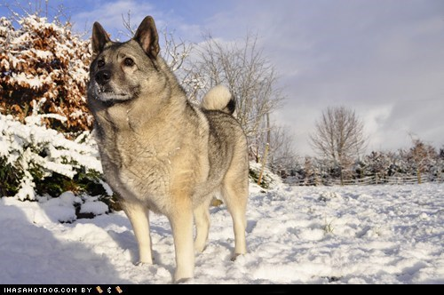 dogs goggie ob teh week norwegian elkhound winner - 6226408448