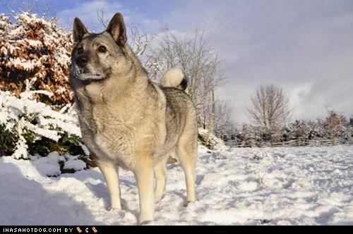 dogs goggie ob teh week norwegian elkhound winner - 6226408448