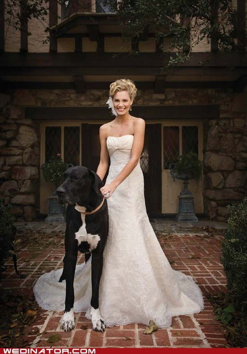 bride,dogs,funny wedding photos,great dane