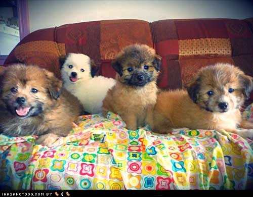 cyoot puppy ob teh day Fluffy puppy what breed - 6230097408