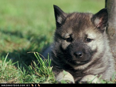goggie ob teh week,norwegian elkhound,puppy
