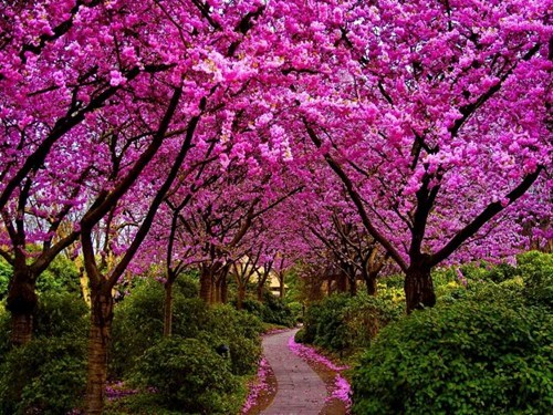 blossoms,flowers,Hall of Fame,path,spring,trees