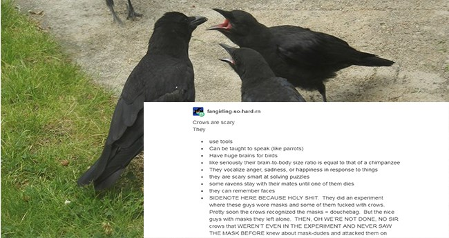 posts about how smart crows actually are