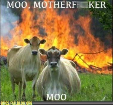 burning cow