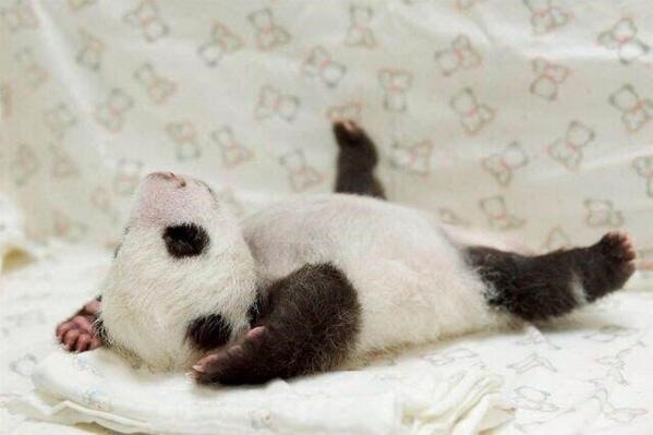 aww baby adorable panda photos cute - 6234117
