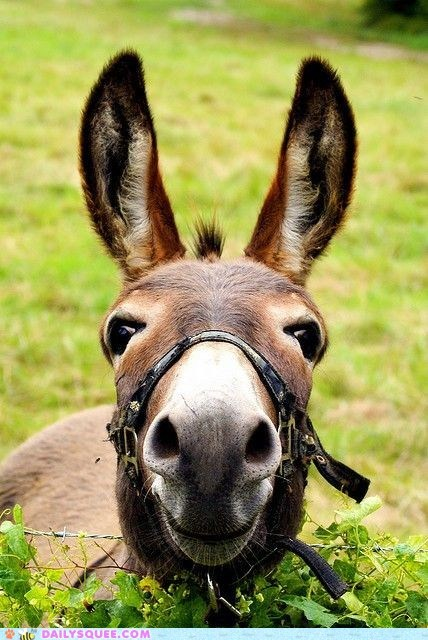 close up donkey mule nice to meet you o hai - 6234350336
