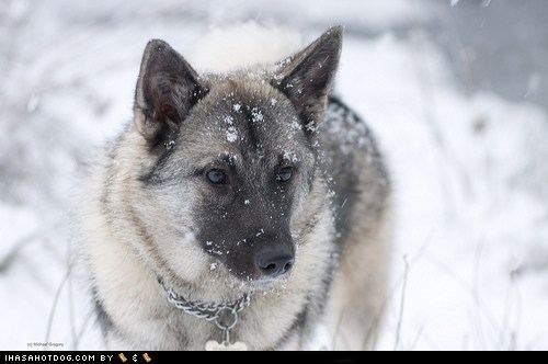 goggie ob teh week,norwegian elkhound,snow