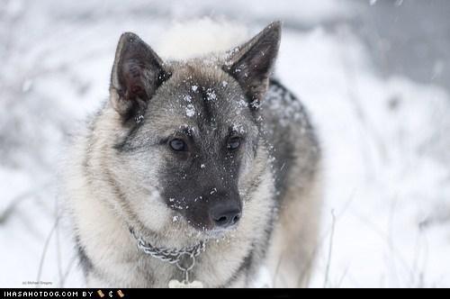 goggie ob teh week norwegian elkhound snow - 6234403584