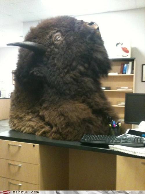 Just Came to Work and Found a Buffalo Head on My Desk