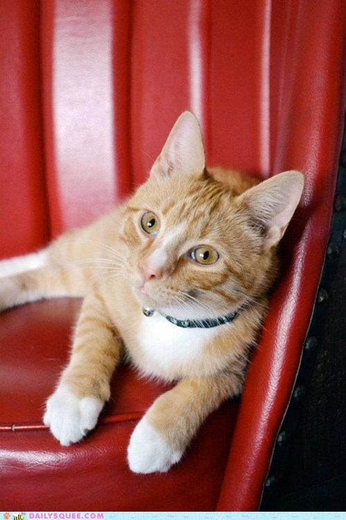 cat discerning marmalade pets reader squees wedge - 6239896832